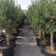 Olivenbaum ca. 20-25cm Stammumfang, Terrassenpflanzen