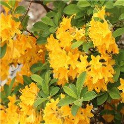 Sommergrüne Azalee 'Anneke' 40-50cm C5, Azalea lut. 'Anneke'