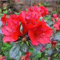 Sommergrüne Azalee 'Satan' 40-50cm C5, Rhododendron rot, Azalea