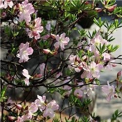 Sommergrüne Azalee 'Viscosum' 40-50cm C5, Gartenazalee günstig