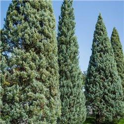 Säulen-Arizonazypresse 200-250cm, Säulen-Arizonazypresse
