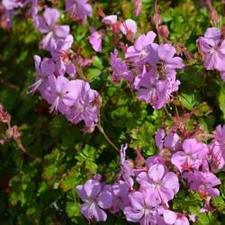 Geranium Berggarten P 0,5