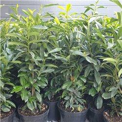 Kirschlorbeer Genolia 40-60 cm im 5 Liter Topf