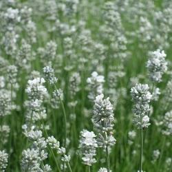 Lavendel 'Alba' P 0,5, Weisse Blüte, Aromatisches Laub