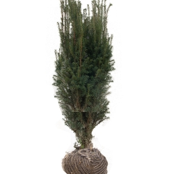 Taxus media Hillii 100-125 am Ballen, Kegel Eibe 80 cm