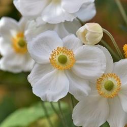 Japan-Herbst-Anemone  'Honorine Jobert' P1