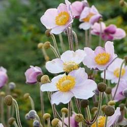 Japan-Herbst-Anemone  'Robustissima' P1