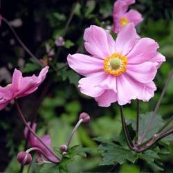 Japan-Herbst-Anemone  'Serenade' P1