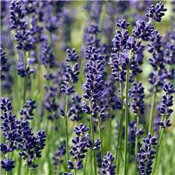 Lavendel 'Hidcote Blue' P 0,5, Aromatisches Laub, Duftende