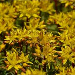 Gold-Fetthenne P0,5, Wintergrün, Staude für Steingarten