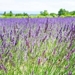 Lavendel 'Dwarf Blue' P 0,5, Aromatisches Laub, Duftende Blüte