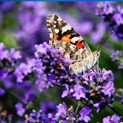 Lavendel 'Munstead' P 0,5, Aromatisches Laub, Duftende Blüte
