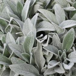 Stachys byzantina 'Silver Carpet' P0,5