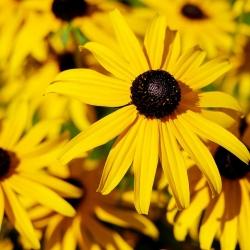 Goldsturm-Sonnenhut P 0,5, Herbststaude, Gelbe Blüte