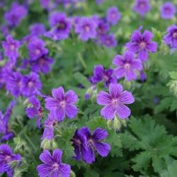 Pracht-Storchschnabel P1, Attraktive Blüte, Herbstfärbung