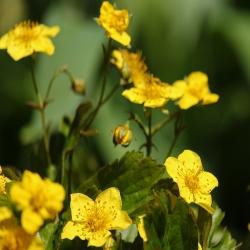 Golderdbeere P0,5, Rhododendronbegleitstaude, Staude für