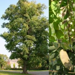 Geweihbaum C3, Gymnocladus dioica, Geweihbaum kaufen