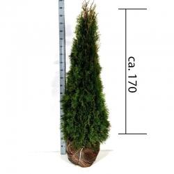 Smaragdthuje 150-175cm am Ballen, günstig Pflanzen kaufen
