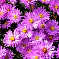 Kissen-Aster 'Herbstgruß vom Bresserhof' P 0,5, Violettrosa