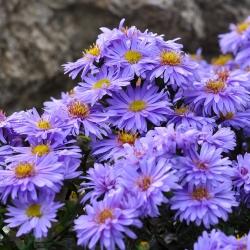 Kissen-Aster 'Blauer Gletscher' P 0,5, Blauviolette Blüte