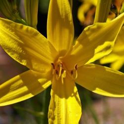 Wiesen-Taglilie P1, Anspruchslos, Gelbe Blüte, Reichblütige