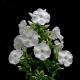 Flammenblume 'David' P1, Robuste Sorte, Weiße Blüte