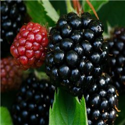 Rubus frut. 'Black Satin' - Brombeere (aufgebunden), gute