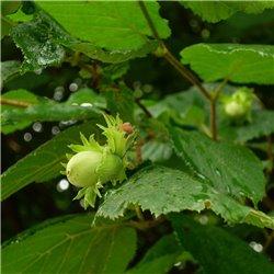 Gewöhnliche Haselnuss C3, Haselnusspflanze günstig kaufen