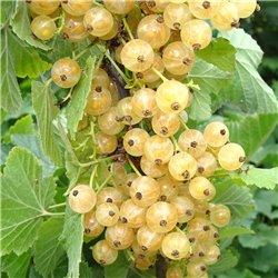 Johannisbeere weiß 'Weiße Versailler' C3, Ribes sativa 'Weiße