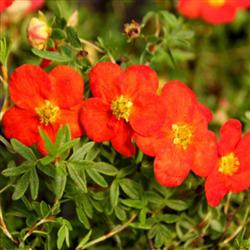 Fingerstrauch 'Red Ace' 25-30cm, Potentilla orange-rot kaufen