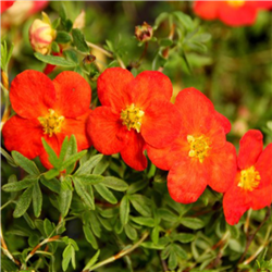 Fingerstrauch 'Red Ace' Tb9 | 15 Stück, Potentilla fruticosa