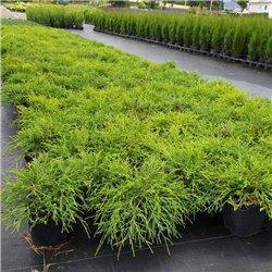 Gelbe Fadenscheinzypresse 'Filifera Sungold' 25-30cm, gelbe