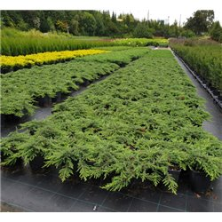 Wacholder 'Green Carpet' 30-35cm, Wacholder 'Green Carpet'