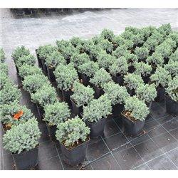Zwerg-Kriech-Wacholder 'Nana' 25-30cm, Pflanzenaktion