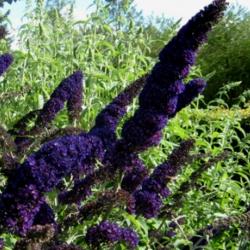 Schmetterlingsstrauch, Sommerflieder 'Black Knight' 60-70cm