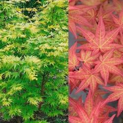 Japanischer Fächerahorn 'Corallinum' 80-100cm C9, Fächerahorn