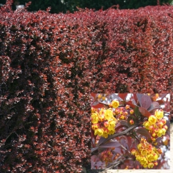 Große Blut-Berberitze 'Superba' 80-100cm, Berberitze für Hecke