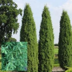 Irischer Säulenwacholder 125-150cm mit Ballen, Irischer