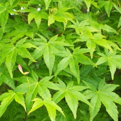Grünblättriger Fächerahorn 100-125cm am Ballen, Pflanzen für