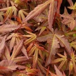 Fächerahorn 'Skeeter´s Broom' 100-125cm, Fächerahorn Skeeters