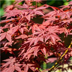 Rotblättriger Fächerahorn 'Atropurpureum' 40-60cm C3, roter