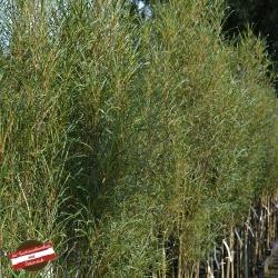 Geschlitzter Faulbaum 'Fine Line®' 80-100cm, Säulen Faulbaum