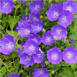 Karpaten-Glockenblume 'Blaue Clips' P 0,5, Anspruchslos, Blaue