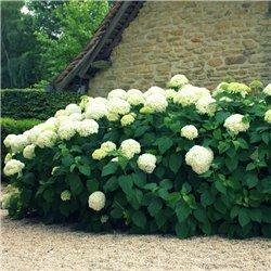 Schneeball-Hortensie 'Annabelle' 40-50cm im 5l Topf