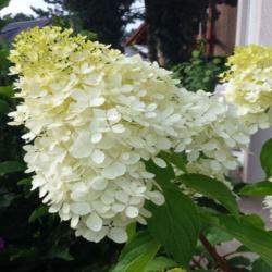 Hortensie Hydrangea Paniculata Lemon, HORTENSIE KAUFEN MIT