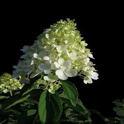 Rispen-Hortensie 'Limelight' auf Stamm 100cm, Hortensien