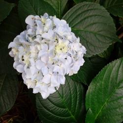Ball-Hortensie 'Immaculata' weiß 7,5l, Immaculata, weiße