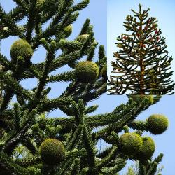 Schmuck-Tanne, Affenschwanzbaum 80-90cm C15, älteste Pflanzen