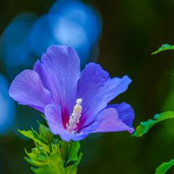 Hibiskus blauviolet, einfach 40-50cm, Hibiscus syriacus 'Blue