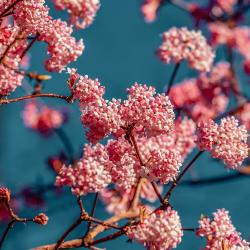 Winterduftschneeball 'Dawn' 100-125cm C7,5, Strauch mit rosa